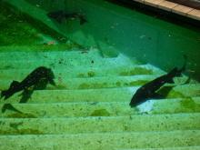 うおっち&ももの海水魚日記-チョウザメ