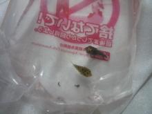 うおっち&ももの海水魚日記-ミドリフグ1