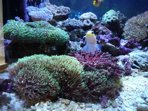 うおっち&ももの海水魚日記-サンゴ1