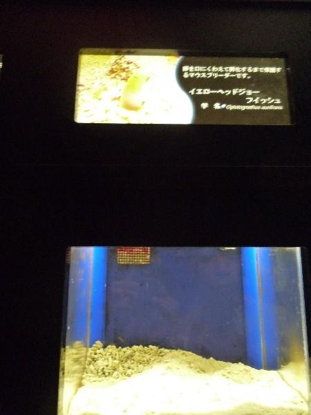 うおっち&ももの海水魚日記-ジョー?