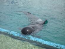 うおっち&ももの海水魚日記-クジラ