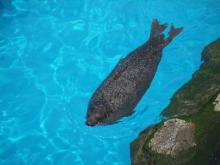 うおっち&ももの海水魚日記-アザラシ