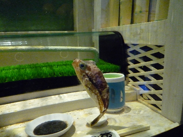 うおっち&ももの海水魚日記-フグ2
