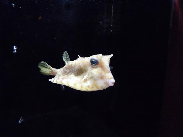 うおっち&ももの海水魚日記-フグ1
