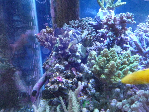 うおっち&ももの海水魚日記-90cm4