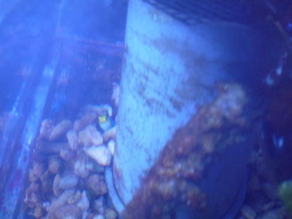 うおっち&ももの海水魚日記-チビジョー1