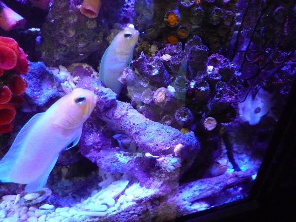 うおっち&ももの海水魚日記-30cm1