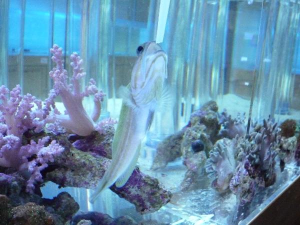 うおっち&ももの海水魚日記-マスタッチ3