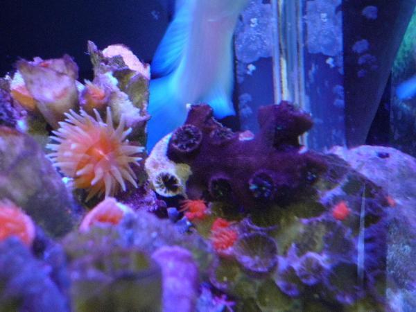 うおっち&ももの海水魚日記-キサンゴ