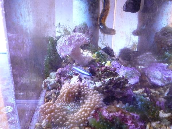 うおっち&ももの海水魚日記-バブル1