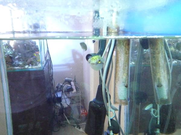 うおっち&ももの海水魚日記-ミドリフグ