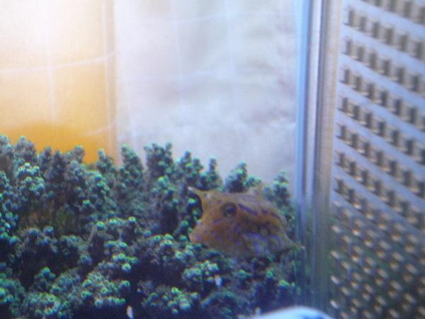 うおっち&ももの海水魚日記-シマウミスズメ