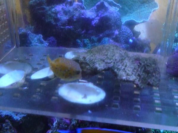 うおっち&ももの海水魚日記-ハコフグ7