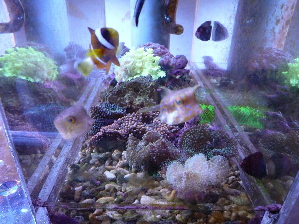 うおっち&ももの海水魚日記-サンゴ5