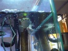 うおっち&ももの海水魚日記-ミドリフグ8