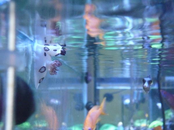 うおっち&ももの海水魚日記-ウミウシ3