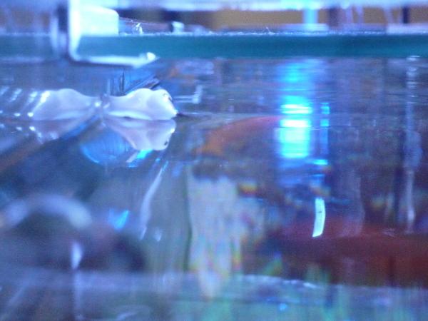 うおっち&ももの海水魚日記-ウミウシ4