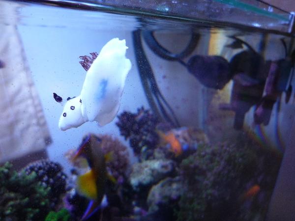 うおっち&ももの海水魚日記-ウミウシ5