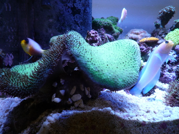 うおっち&ももの海水魚日記-ウニ2