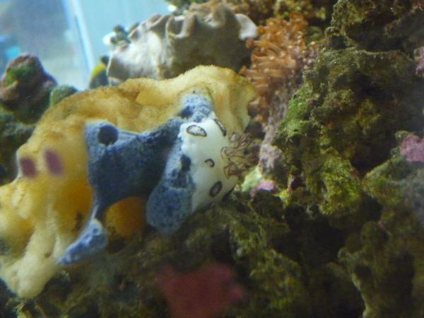 うおっち&ももの海水魚日記-ウミウシ2
