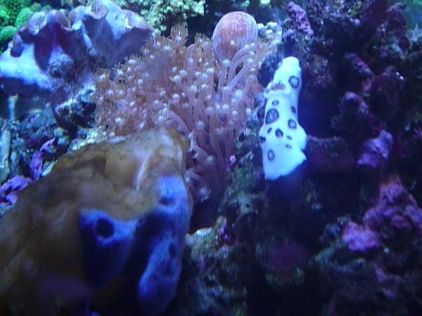 うおっち&ももの海水魚日記-ブチウミウシ1