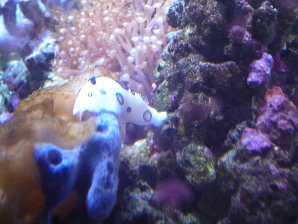 うおっち&ももの海水魚日記-ブチウミウシ4