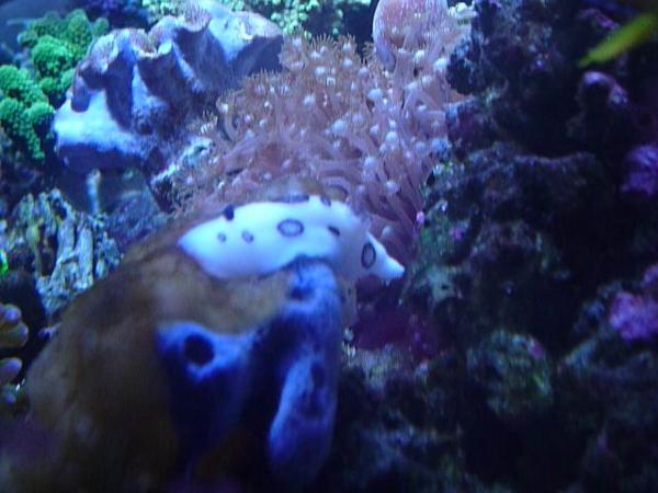 うおっち&ももの海水魚日記-ブチウミウシ5