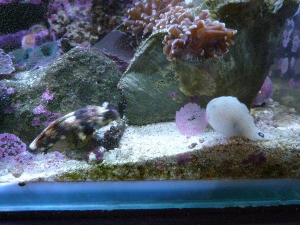 うおっち&ももの海水魚日記-ブチ3