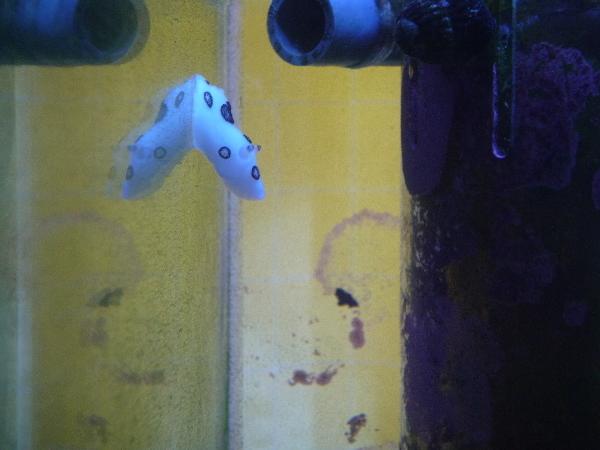 うおっち&ももの海水魚日記-ウミウシ1