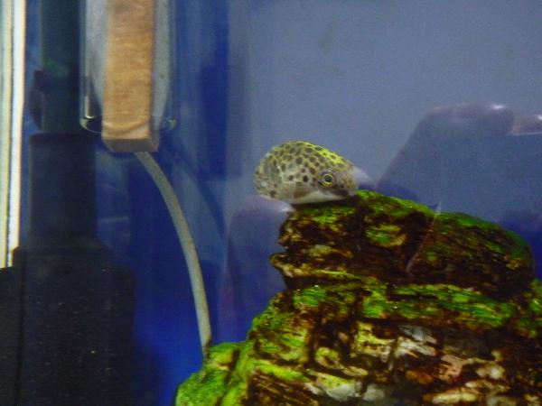 うおっち&ももの海水魚日記-ミドリフグ2