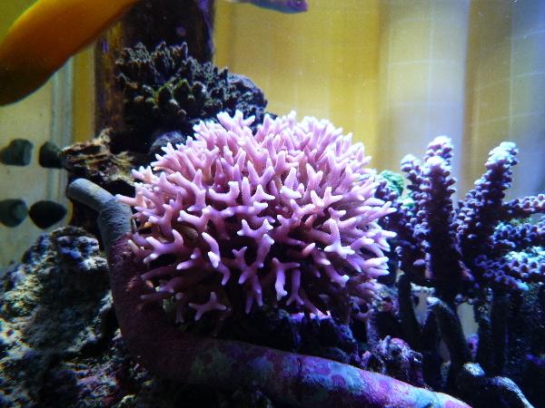 うおっち&ももの海水魚日記-トゲサンゴ