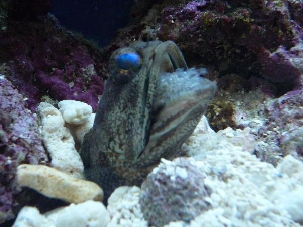 うおっち&ももの海水魚日記-バンデッド2
