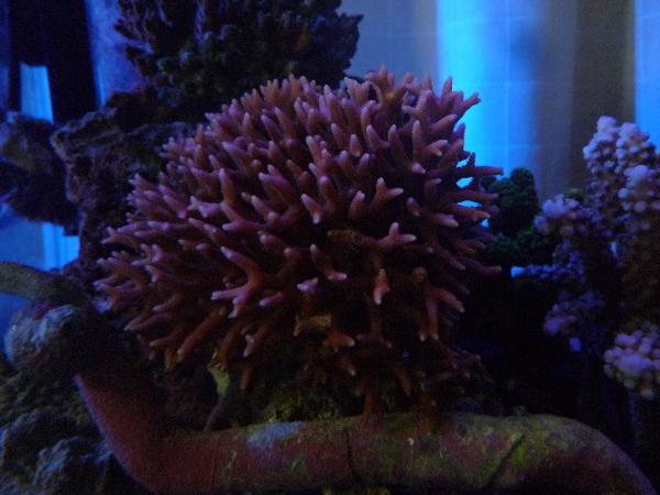 うおっち&ももの海水魚日記-トゲサンゴ1