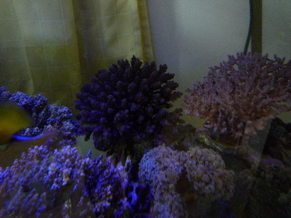 うおっち&ももの海水魚日記-ミドリイシ1