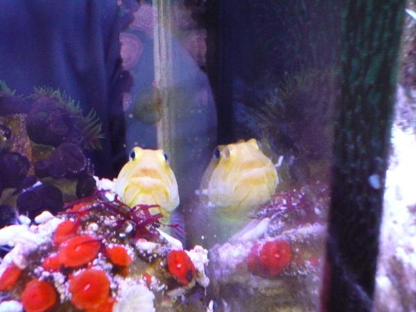 うおっち&ももの海水魚日記-イエロー2