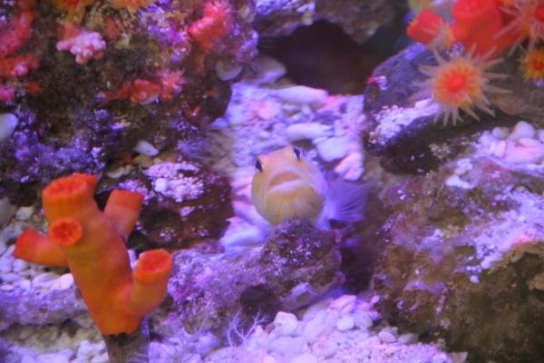 うおっち&ももの海水魚日記-黄色1