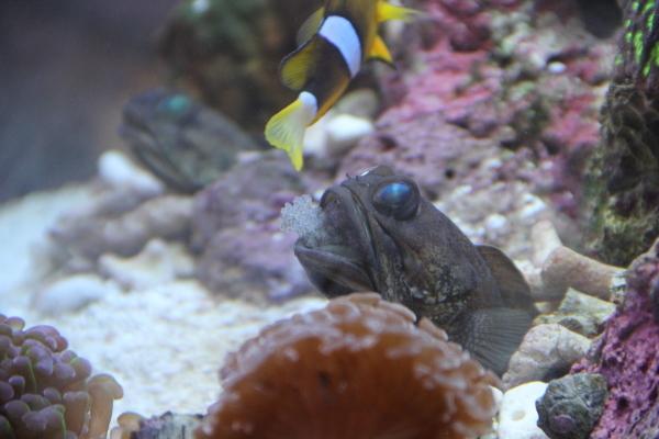 うおっち&ももの海水魚日記-バンディット3