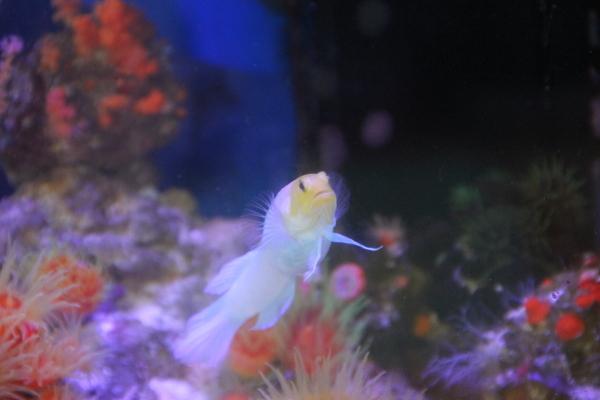 うおっち&ももの海水魚日記-ジョー3
