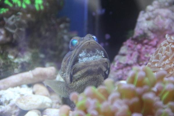 うおっち&ももの海水魚日記-ジョー8