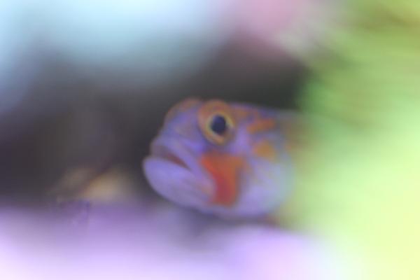うおっち&ももの海水魚日記-OG