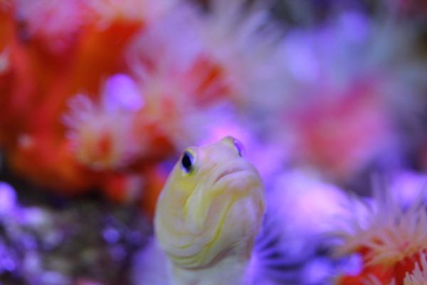 うおっち&ももの海水魚日記-イエロー1