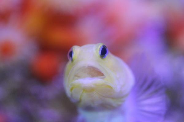 うおっち&ももの海水魚日記-イエロー4