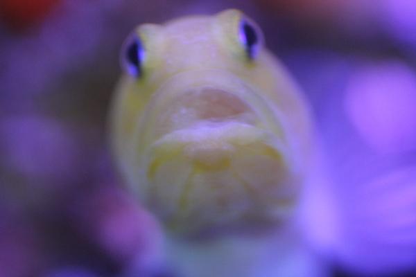 うおっち&ももの海水魚日記-イエロー5