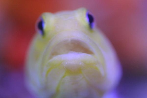 うおっち&ももの海水魚日記-イエロー6