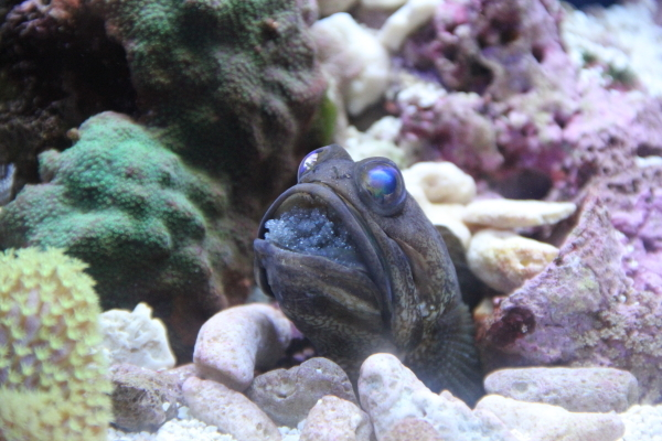 うおっち&ももの海水魚日記-45-4
