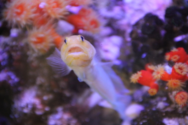 うおっち&ももの海水魚日記-30-6