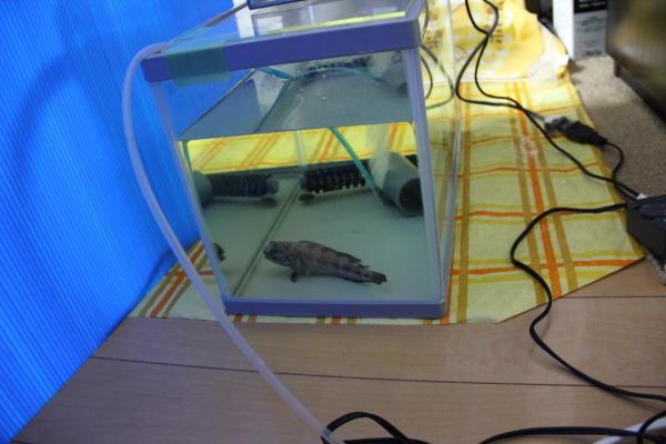 うおっち&ももの海水魚日記-薬浴