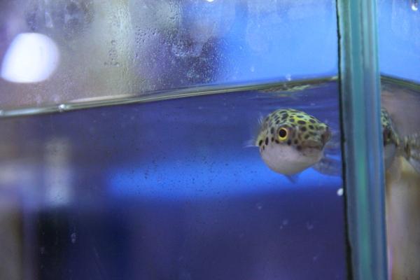 うおっち&ももの海水魚日記-汽水-2