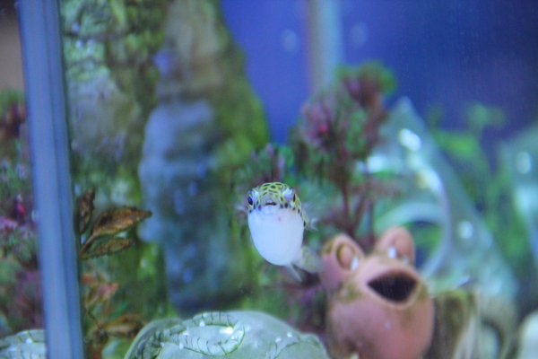 うおっち&ももの海水魚日記-ジロウ4
