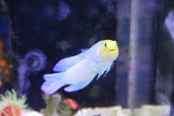 うおっち&ももの海水魚日記-イエロー7